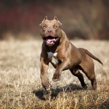 American Pit Bull Terrier dog, photo by Ivanova N / Shutterstock.com.