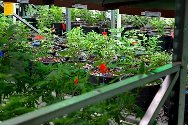 6 Veg State Plants