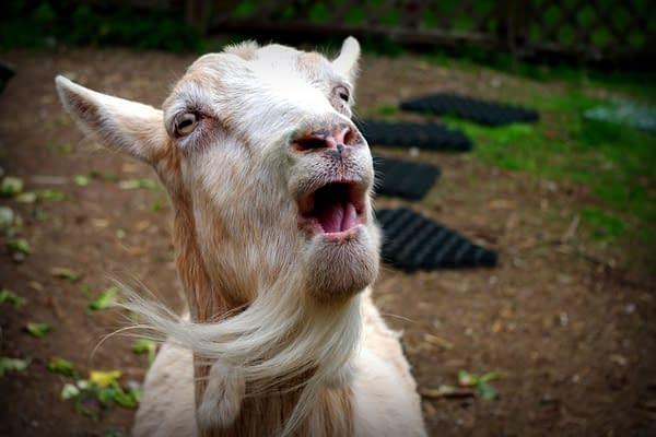 Singing Goat, photo by Veronika A / Shutterstock.com.