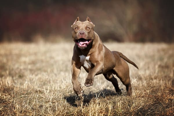 American Pit Bull Terrier dog, photo by Ivanova N / Shutterstock.com (probably not the same one that wrestled Aubrey Sitterson)