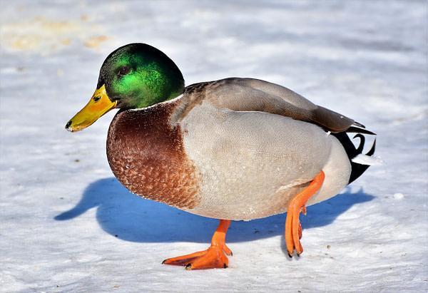 How Dangerous Are Ducks Anyway?